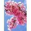 Blossom Tea (Kirschblüten- Tee)