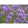 Dried Lavender Flower Tea  (Lavendelblüten Tee)