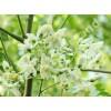 Moringa  Oleifera Tea (Meerrettichbaum Tee)