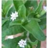 Stevia Rebaudiana Bertoni Tea  (Honigkraut Tee)