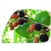 Mullberry Green Tea (Grüner Maulbeeren Tee)